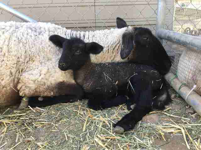 rescue sheep mom and baby california