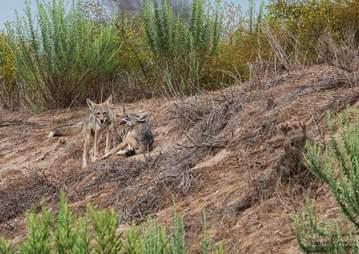 Coyote pups in California reserve