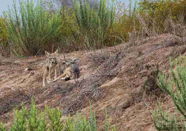 Coyote pups in California reserve