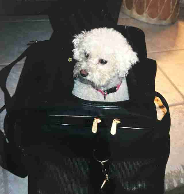 A Bichon Frise in his carrying case in new york city