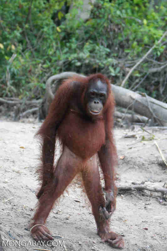Orangutan standing on two legs in Borneo