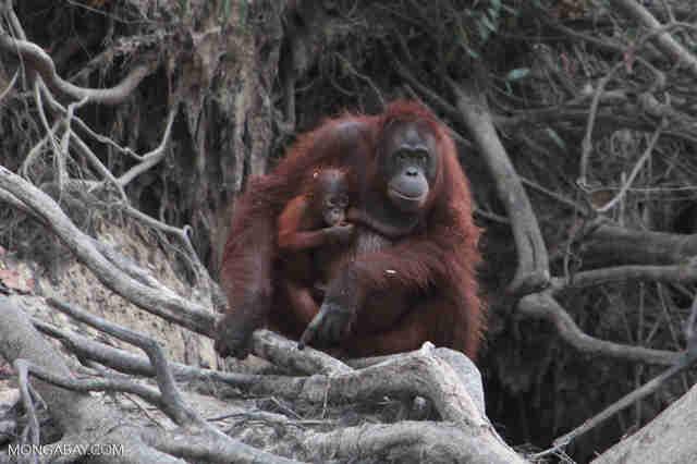 Orangutan holding baby in Borneo