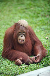 Orangutan using half a coconut as a hat in Borneo