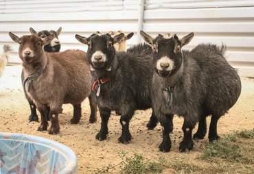california fire animal rescue goats