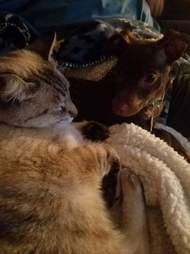loki chihuahua puppy and cat