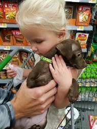 loki chihuahua mix puppy