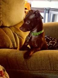 loki chihuahua puppy