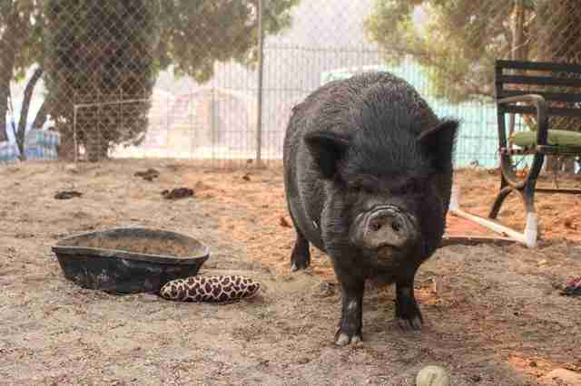 california fire animal rescue pig
