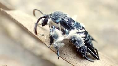 Oriental blue clearwing moth