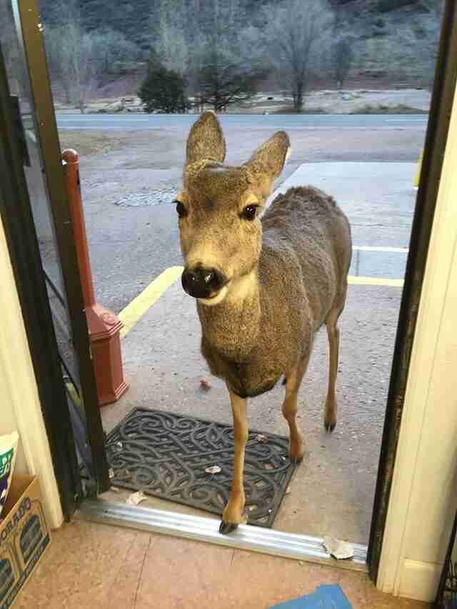 Dodo Bar Or Kids.Deer Family Makes Surprise Visit To Colorado General Store The Dodo