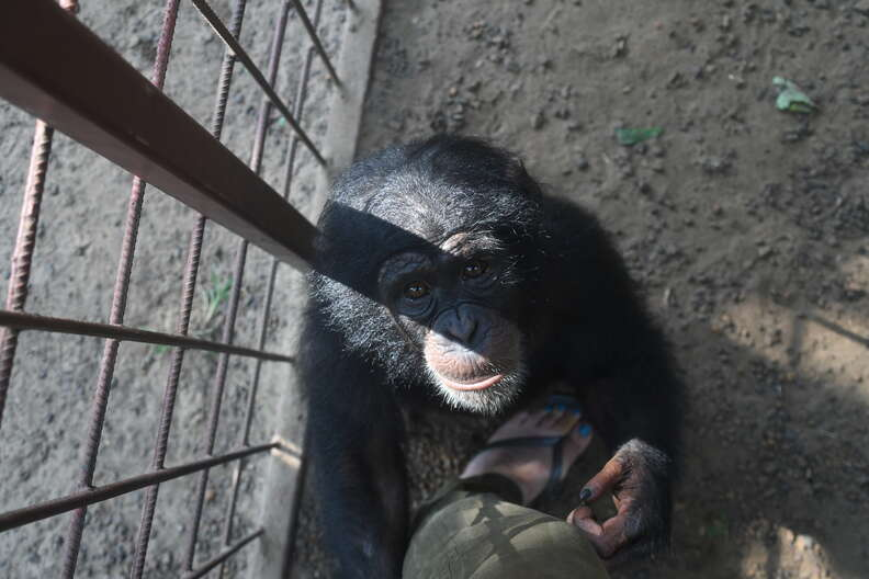 Rescued baby chimp in Liberia