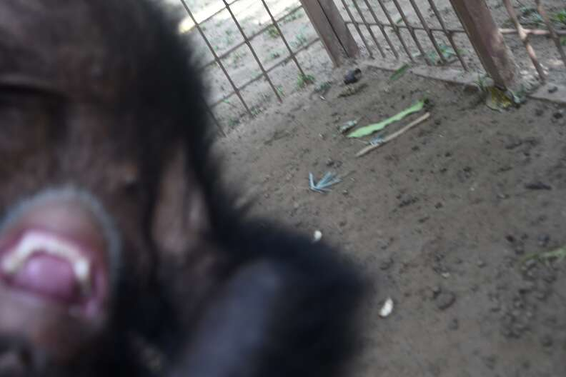 Rescued chimp playing at sanctuary