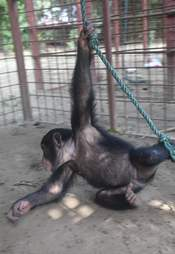 Chimp swinging at sanctuary