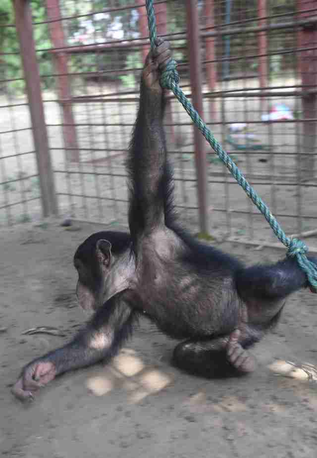 Chimp swinging at sanctuary