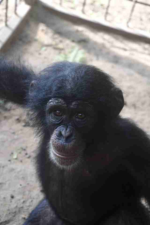 Rescued baby chimp at sanctuary in Liberia