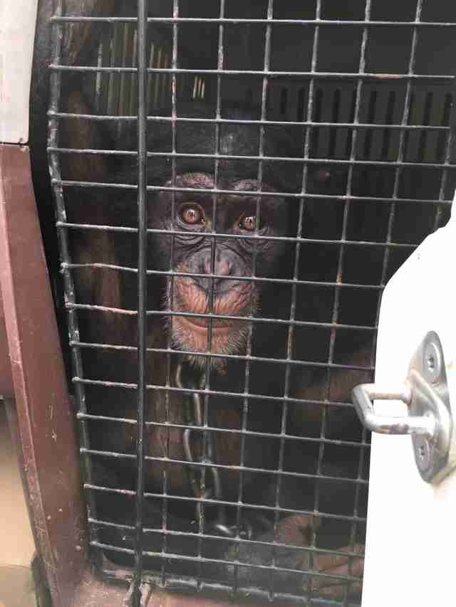Baby chimp saved from village