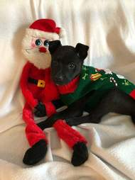 Dog snuggling with santa toy