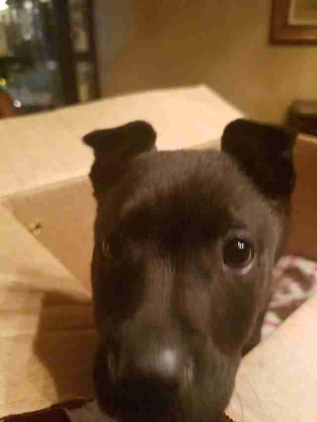 Dog poking head out of box