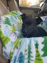 Little puppy inside blanketed cardboard box