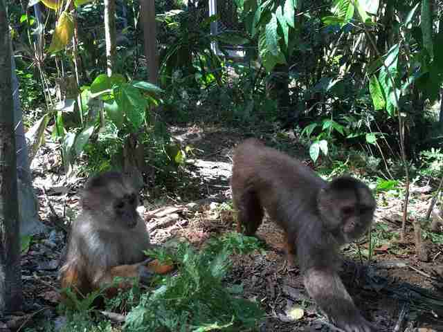 Rescued monkeys in rainforest habitat