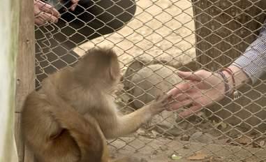 Woman touching hand of captive monkey