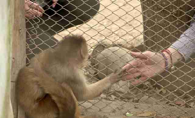 Woman touching hand of captive monkey