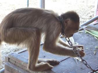 Chained capuchin monkey