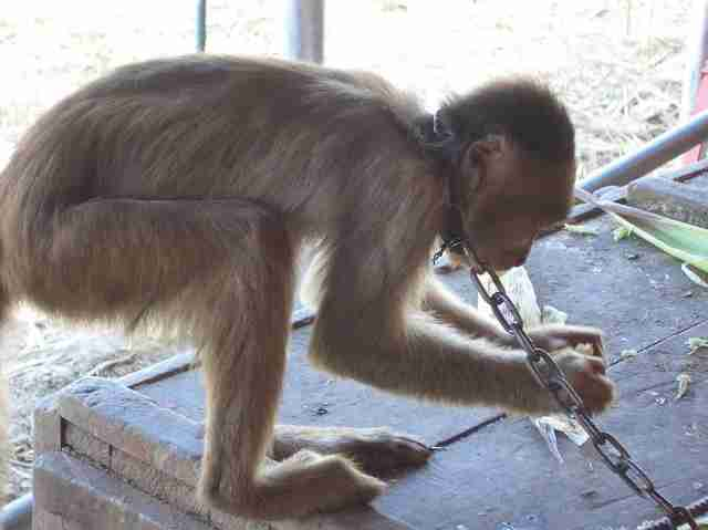Chained capuchin monkey