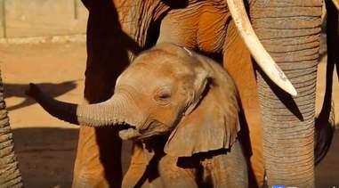 baby elephant calf rescue