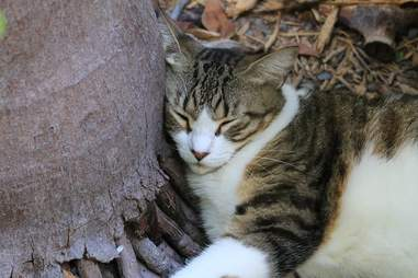 rare polydactyl cat