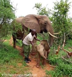 orphan elephant rescued calf
