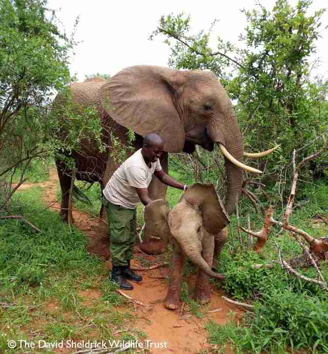 orphan elephant rescued calf