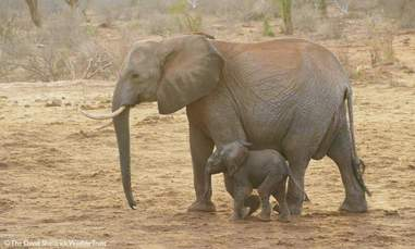 orphaned elephant calf baby
