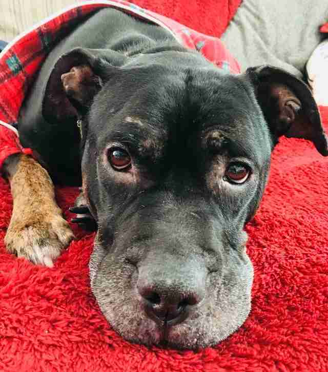 Black pit bull gets forever home just in time for Christmas