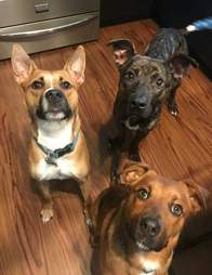 Three dogs looking up at the camera