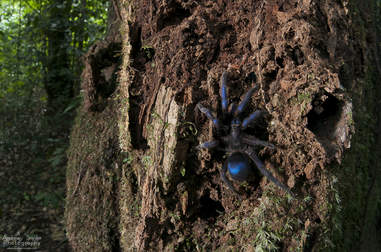 Blue tarantula in Guyana