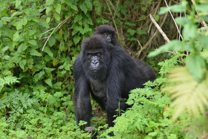 Gorilla mom in Virunga seen leaving group to save her baby