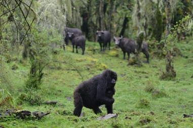 Mother gorilla in Virunga protecting baby on her own