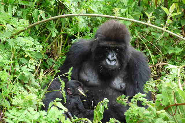 Mother gorilla and baby in Virunga National Park