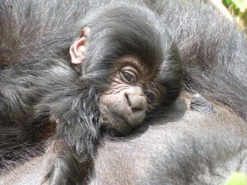 Wild baby gorilla in Virunga snuggled up to mother