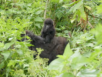 Gorilla baby with mom in Virunga mountains