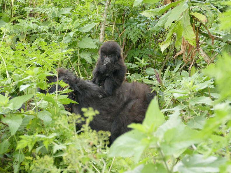 Gorilla baby with mom in Virunga mountains
