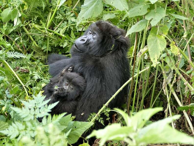 Gorilla single mom and baby in Virunga mountains in Rwanda