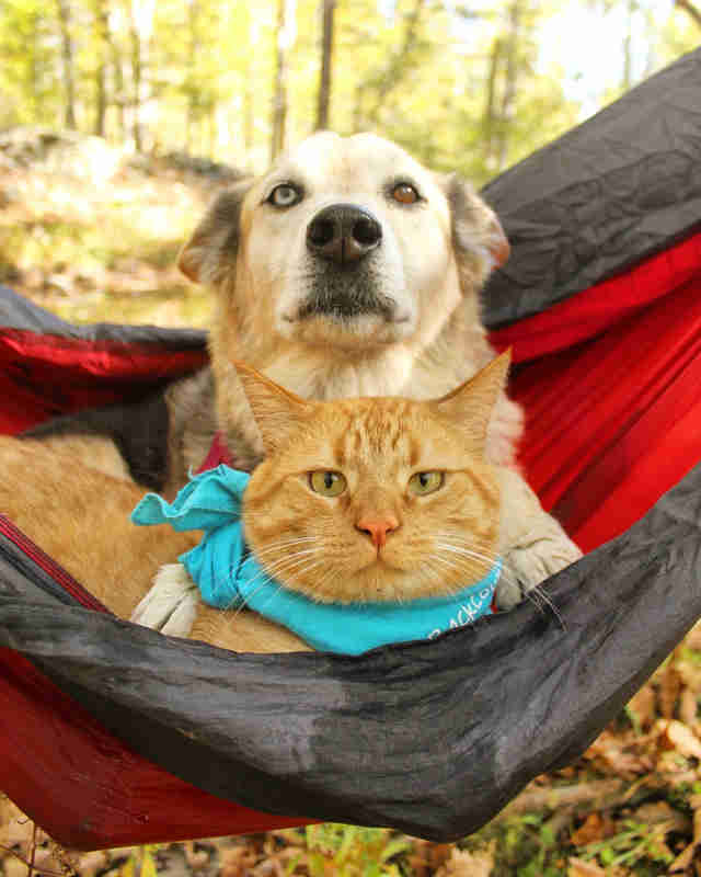 Dog and cat sharing hammock
