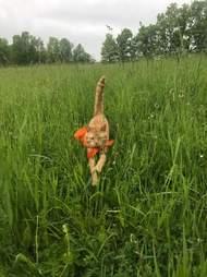 Cat in bandana running through grass