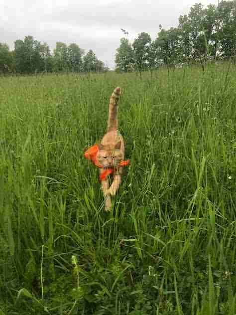 Cat in bandana running through grass