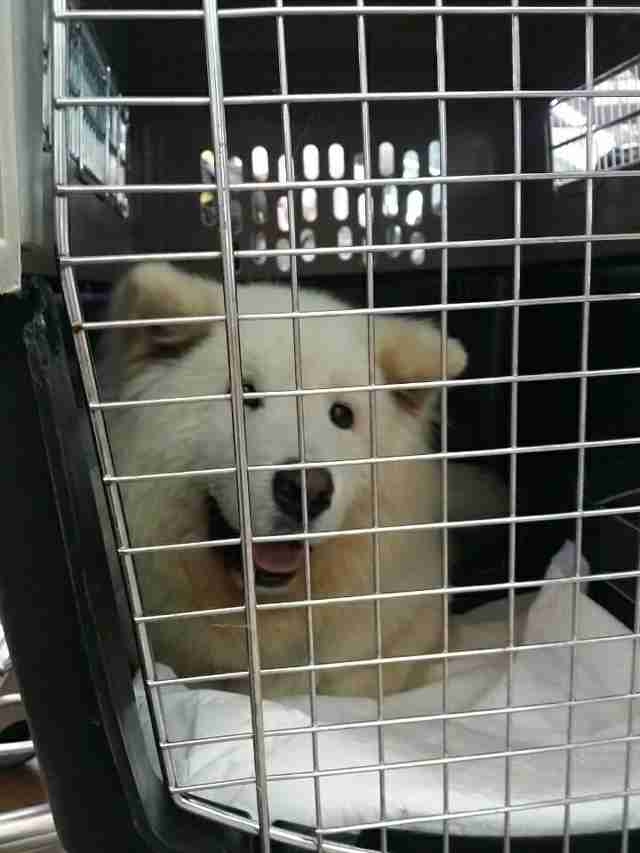 Smiling Samoyed inside travel crate