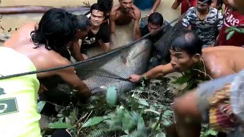 mekong giant catfish thailand rescue