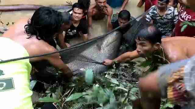 mekong giant catfish thailand rescue