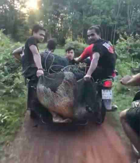 mekong giant catfish rescue thailand
